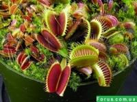Хищное растение Дионея Венерина мухоловка