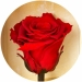 Долгосвежая роза Алый Рубин в подарочной упаковке (не вянут от 6 месяцев до 5 лет) на коротком стебл