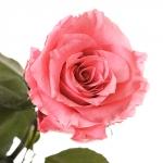 фото 1890  Три долгосвежих розы Розовый Кварц в подарочной упаковке (не вянут от 6 месяцев до 5 лет) цена, отзывы