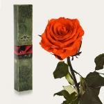 купить Долгосвежая роза Огненный Янтарь 7 карат (короткий стебель) цена, отзывы