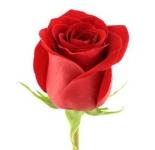 купить Роза цена, отзывы