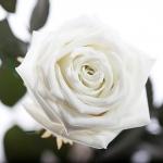 фото 1885  Три долгосвежих розы Белый Бриллиант в подарочной упаковке (не вянут от 6 месяцев до 5 лет) цена, отзывы