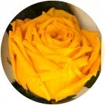 фото 1815  Долгосвежая роза Золотистый Хризоберилл в подарочной упаковке (не вянут  до 5 лет) цена, отзывы