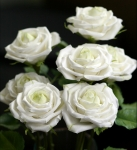 фото 1887  Три долгосвежих розы Белый Бриллиант в подарочной упаковке (не вянут от 6 месяцев до 5 лет) цена, отзывы
