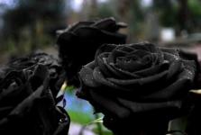 фото 1878  Три долгосвежих розы Черный Бриллиант в подарочной упаковке (не вянут от 6 месяцев до 5 лет) цена, отзывы