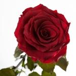 фото 1882  Три долгосвежих розы Багровый Гранат в подарочной упаковке (не вянут от 6 месяцев до 5 лет) цена, отзывы