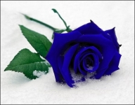 фото 1875  Три долгосвежих розы Синий Сапфир в подарочной упаковке (не вянут от 6 месяцев до 5 лет) цена, отзывы