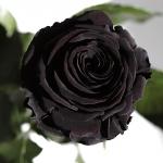 фото 1876  Три долгосвежих розы Черный Бриллиант в подарочной упаковке (не вянут от 6 месяцев до 5 лет) цена, отзывы