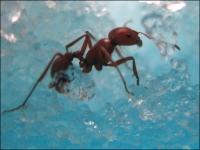 фото 1549  Муравьиная ферма аквариум (Супер Муравейник) Mini цена, отзывы