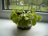 фото 2054  Хищное растение Дионея Венерина мухоловка цена, отзывы