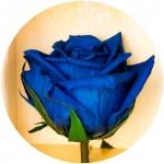 фото 1156  Долгосвежая роза Синий САПФИР (5 карат на коротком стебле) цена, отзывы