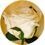 фото 1810  Долгосвежая роза Белый Бриллиант в подарочной упаковке (не вянут от 6 месяцев до 5 лет) цена, отзывы