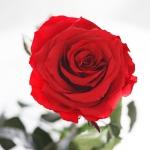 фото 1868  Три долгосвежих розы Алый Рубин 5 карат на коротком цена, отзывы