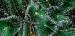 Сосна распушенная высотой 1.30 метра