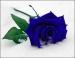 Три долгосвежих розы Синий Сапфир 5 карат на коротком