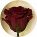 Фото1 Долгосвежая роза Багровый Гранат 5 карат на коротком